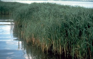 Smooth cordgrass (Spartina alterniflora) is a flooding-tolerant plant species.