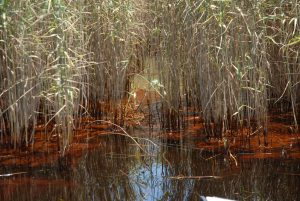 Oil Spill in Marsh - Restore the Mississippi River Delta