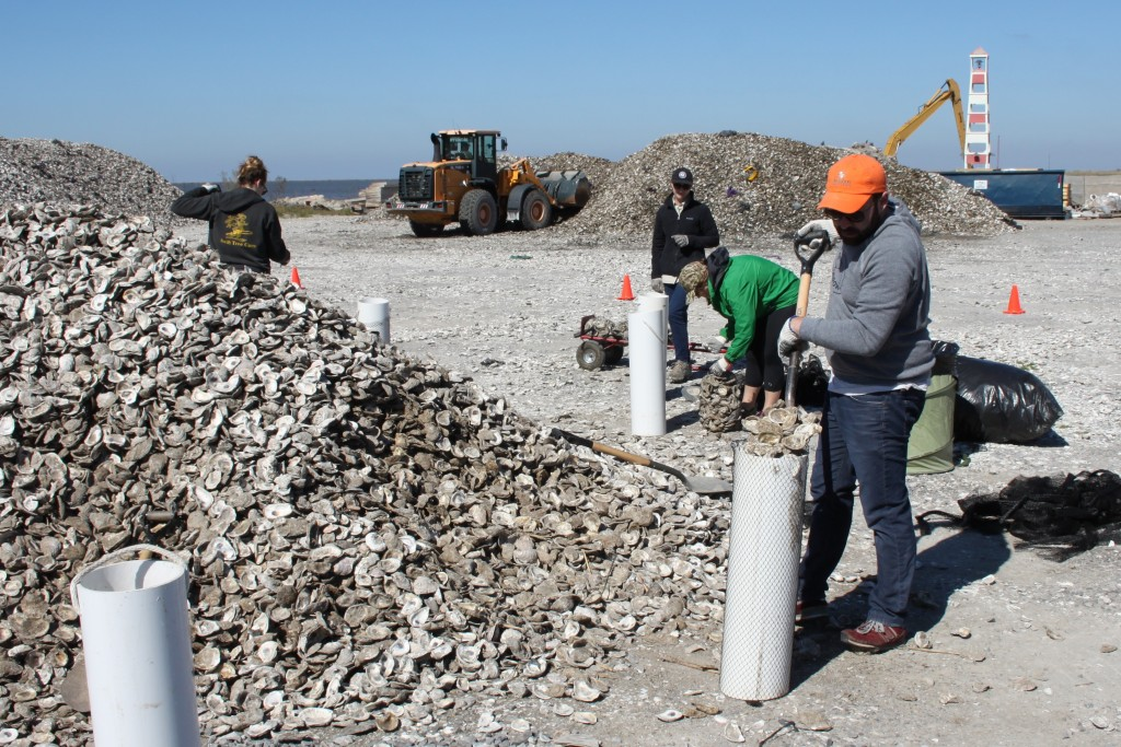 MRD Staff bagging some of the 1750 tons of oyster shell reclaimed by CRCL.