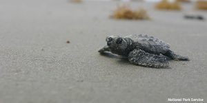 Baby Turtle - Restore the Mississippi River Delta