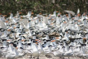 Royal Terns - Restore the Mississippi River Delta