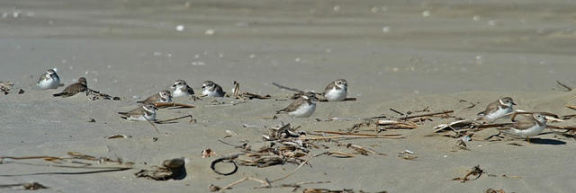 Piping Plovers, Elmers Island, Louisiana Photo: Erik Johnson, Audubon Louisiana
