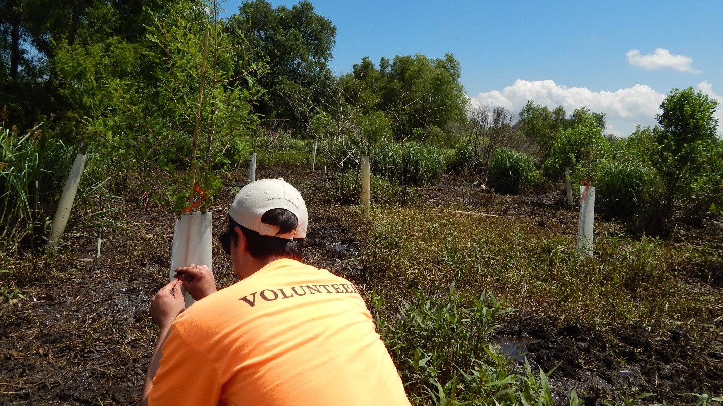A volunteer finished planting a young cypress tree in St. Bernard Parish, LA.