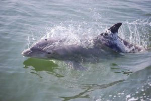 Dolphin - Restore the Mississippi River Delta