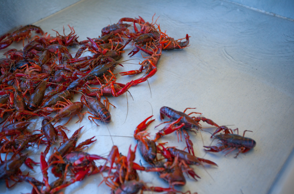 Crawfish - Restore the Mississippi River Delta Coalition