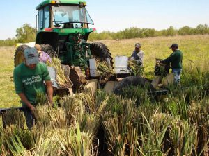 Nursery Grows Grass for Restoration - Restore the Mississippi River Delta