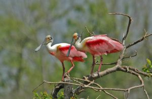 Roseate Spoonbill - Restore the Mississippi River Delta Coalition
