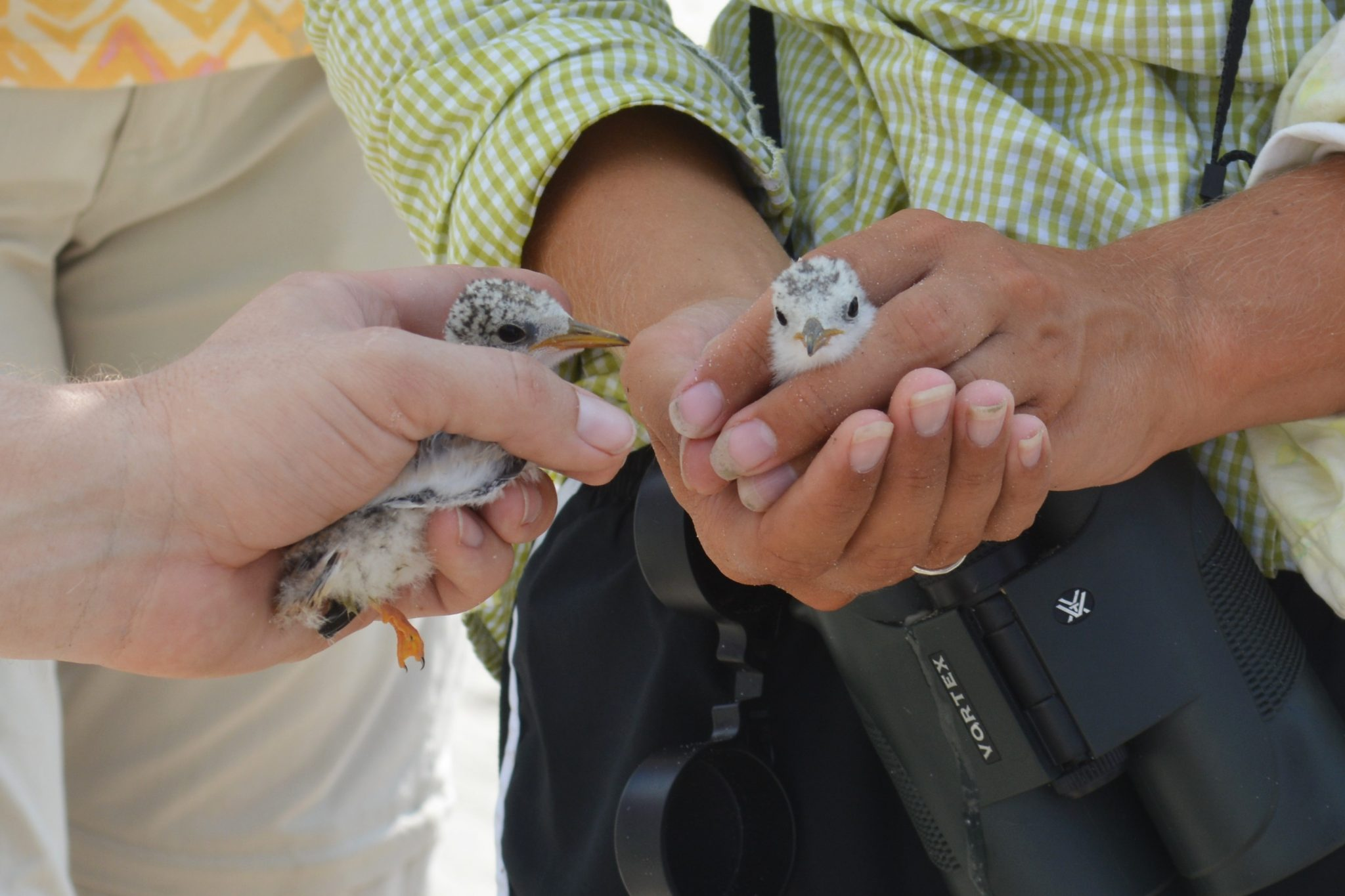 Young Wilson's Plovers being cared for by Audubon Louisiana staff.