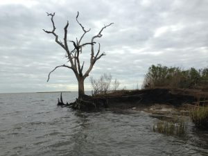Dead live oak - Restore the Mississippi River Delta