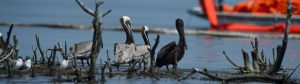 Pelicans in Oil Spill - Restore the Mississippi River Delta