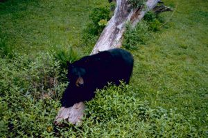 Louisiana Black Bear - Restore the Mississippi River Delta