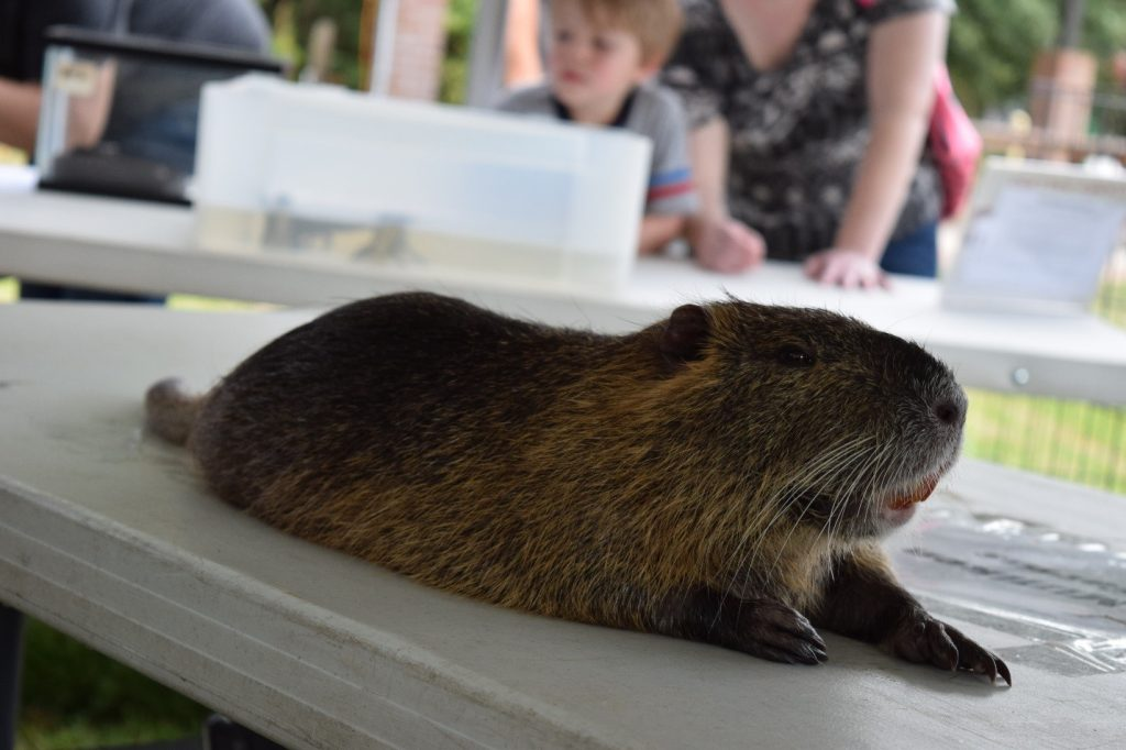 While nutria as a species can be quite destructive to wetland habitats – our furry nutria friend was happy to share the tent and tables with our coaltion staff.