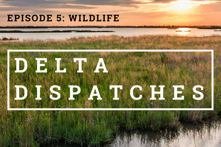 Delta Dispatches Podcast – Wildlife