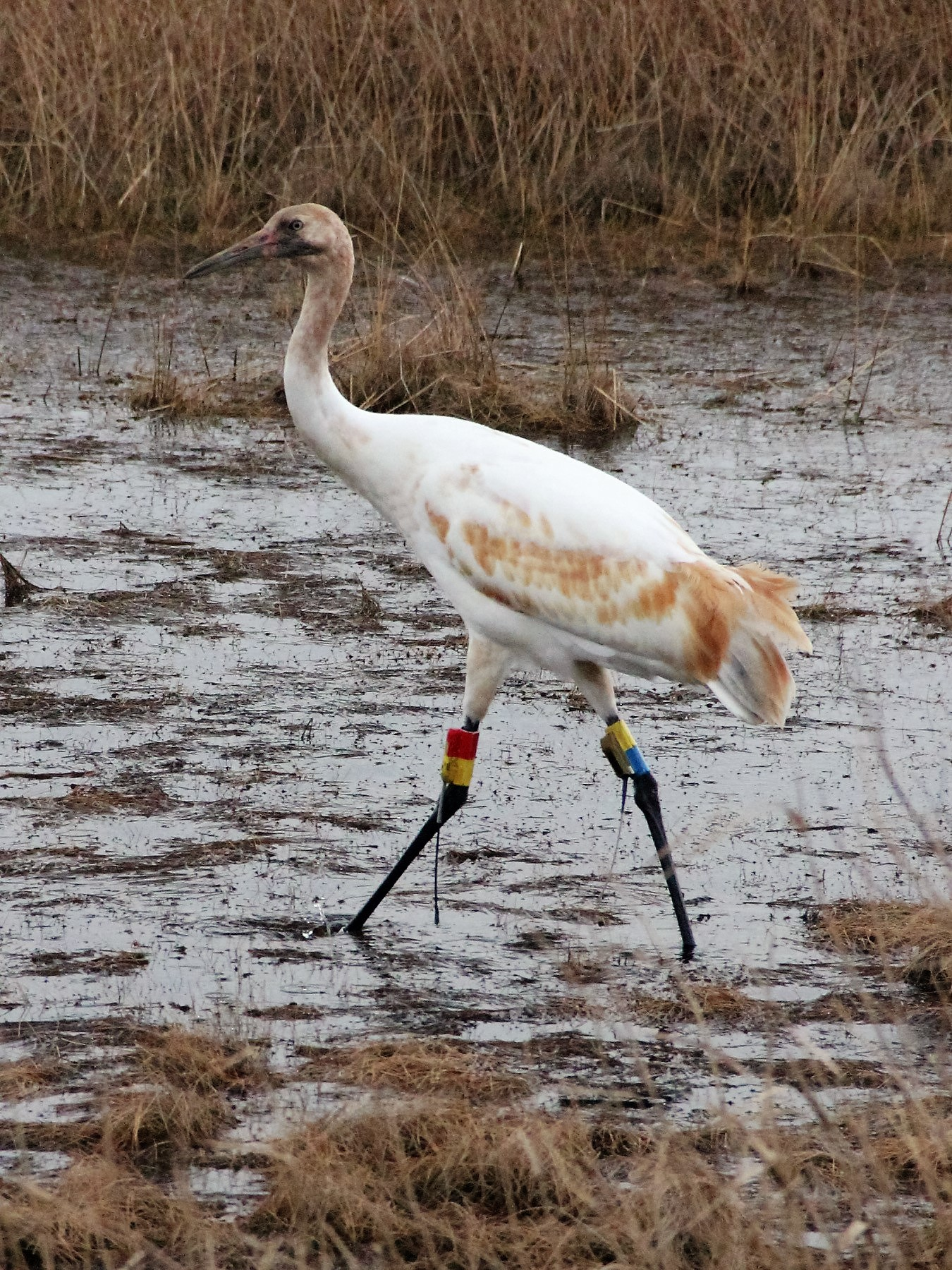 Juvenile crane at White Lake Conservation Area. Photo: Karen Westphal, Audubon Louisiana.