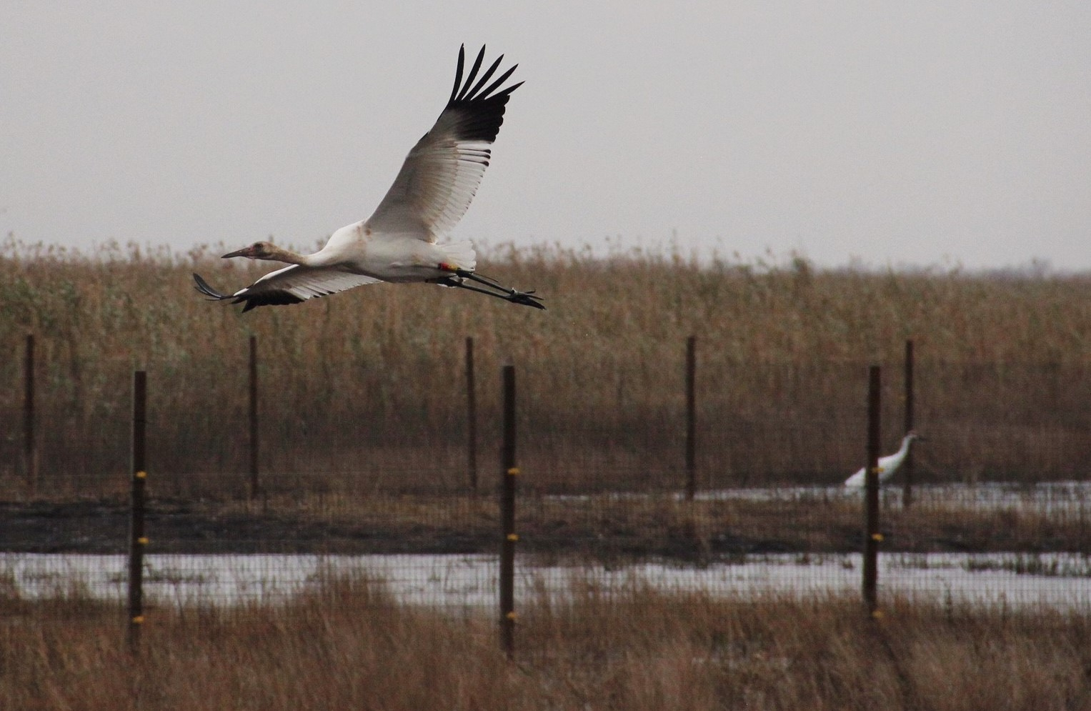 Whooping Crane pens at White Lake Conservation Area. Photo: Karen Westphal, Audubon Louisiana.
