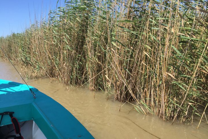 Louisiana's Roseau Cane: Why It's Important and What's Eating It Away