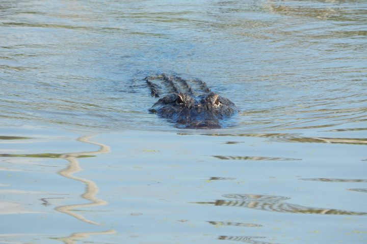 One of many alligators living in the diversion outfall area.